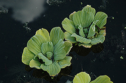 Water Lettuce (Pistia stratiotes) at Cole's Florist & Garden Centre