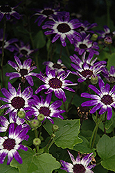 Senetti® Blue Bicolor Pericallis (Pericallis 'Senetti Blue Bicolor') at Cole's Florist & Garden Centre