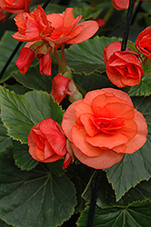 Solenia® Orange Begonia (Begonia 'Solenia Orange') at Cole's Florist & Garden Centre
