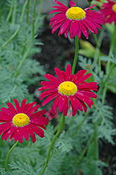 Robinson's Red Painted Daisy (Tanacetum coccineum 'Robinson's Red') at Cole's Florist & Garden Centre