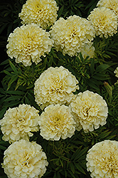 French Vanilla Marigold (Tagetes erecta 'French Vanilla') at Cole's Florist & Garden Centre