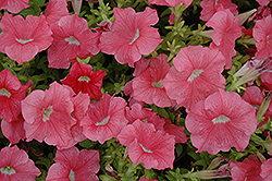 Dreams Salmon Petunia (Petunia 'Dreams Salmon') at Cole's Florist & Garden Centre