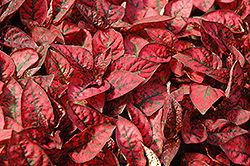 Splash Select Red Polka Dot Plant (Hypoestes phyllostachya 'Splash Select Red') at Cole's Florist & Garden Centre