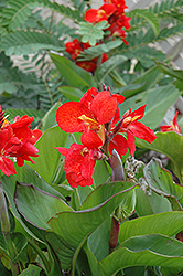 Tropical Red Canna (Canna 'Tropical Red') at Cole's Florist & Garden Centre