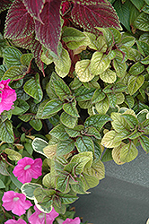 Purple Swedish Ivy (Plectranthus purpuratus) at Cole's Florist & Garden Centre