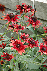 Cherry Brandy Coneflower (Rudbeckia hirta 'Cherry Brandy') at Cole's Florist & Garden Centre
