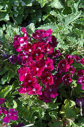 Lanai® Royal Purple with Eye Verbena (Verbena 'Lanai Royal Purple with Eye') at Cole's Florist & Garden Centre