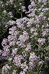 Blushing Princess Sweet Alyssum (Lobularia 'Blushing Princess') at Cole's Florist & Garden Centre