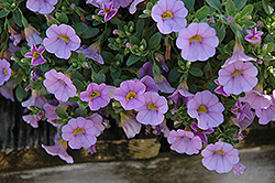 Superbells® Miss Lilac Calibrachoa (Calibrachoa 'Superbells Miss Lilac') at Cole's Florist & Garden Centre