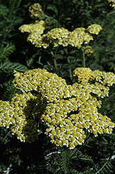 Sunny Seduction Yarrow (Achillea millefolium 'Sunny Seduction') at Cole's Florist & Garden Centre