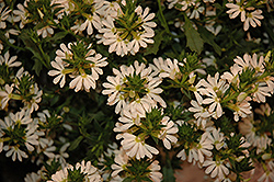 Whirlwind® White Fan Flower (Scaevola aemula 'Whirlwind White') at Cole's Florist & Garden Centre