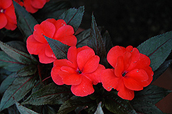 Petticoat Salmon Night New Guinea Impatiens (Impatiens 'Petticoat Salmon Night') at Cole's Florist & Garden Centre