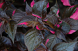 Raspberry Rum Alternanthera (Alternanthera ficoidea 'Raspberry Rum') at Cole's Florist & Garden Centre