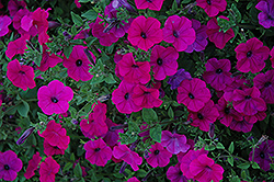 Tidal Wave Purple Petunia (Petunia 'Tidal Wave Purple') at Cole's Florist & Garden Centre