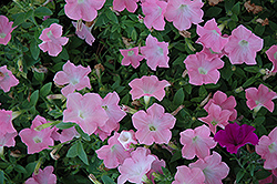 Easy Wave Shell Pink Petunia (Petunia 'Easy Wave Shell Pink') at Cole's Florist & Garden Centre