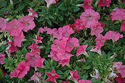 Easy Wave Salmon Petunia (Petunia 'Easy Wave Salmon') at Cole's Florist & Garden Centre