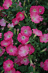Easy Wave Rosy Dawn Petunia (Petunia 'Easy Wave Rosy Dawn') at Cole's Florist & Garden Centre