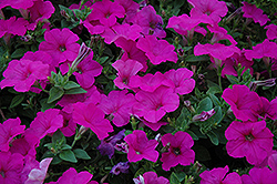 Easy Wave Neon Rose Petunia (Petunia 'Easy Wave Neon Rose') at Cole's Florist & Garden Centre