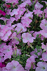 Easy Wave Mystic Pink Petunia (Petunia 'Easy Wave Mystic Pink') at Cole's Florist & Garden Centre