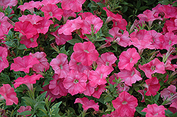 Easy Wave® Salmon Petunia (Petunia 'Easy Wave Salmon') at Cole's Florist & Garden Centre