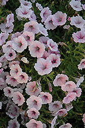 Shock Wave Pink Shades Petunia (Petunia 'Shock Wave Pink Shades') at Cole's Florist & Garden Centre