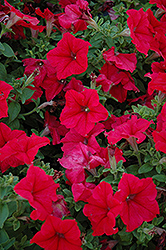 Pretty Grand Red Petunia (Petunia 'Pretty Grand Red') at Cole's Florist & Garden Centre