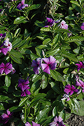First Kiss Blueberry Vinca (Catharanthus roseus 'First Kiss Blueberry') at Cole's Florist & Garden Centre