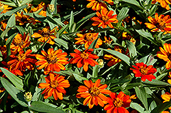 Profusion Orange Zinnia (Zinnia 'Profusion Orange') at Cole's Florist & Garden Centre