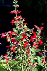 Summer Jewel Red Sage (Salvia 'Summer Jewel Red') at Cole's Florist & Garden Centre