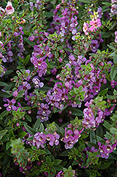 Serena Blue Angelonia (Angelonia angustifolia 'Serena Blue') at Cole's Florist & Garden Centre