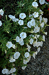 Noa White Calibrachoa (Calibrachoa 'Noa White') at Cole's Florist & Garden Centre