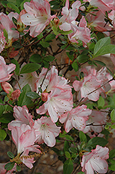 Amy Azalea (Rhododendron 'Amy') at Cole's Florist & Garden Centre