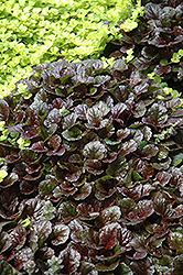 Black Scallop Bugleweed (Ajuga reptans 'Black Scallop') at Cole's Florist & Garden Centre