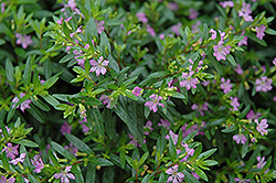 False Heather (Cuphea hyssopifolia) at Cole's Florist & Garden Centre
