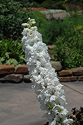 Magic Fountains White Larkspur (Delphinium 'Magic Fountains White') at Cole's Florist & Garden Centre