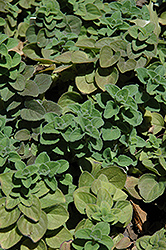 Hot And Spicy Oregano (Origanum 'Hot And Spicy') at Cole's Florist & Garden Centre