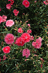 Ideal Select Salmon Pinks (Dianthus 'Ideal Select Salmon') at Cole's Florist & Garden Centre