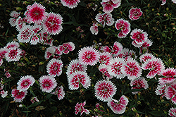 Ideal Select Whitefire Pinks (Dianthus 'Ideal Select Whitefire') at Cole's Florist & Garden Centre
