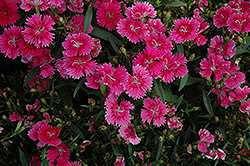 Ideal Select Raspberry Pinks (Dianthus 'Ideal Select Raspberry') at Cole's Florist & Garden Centre