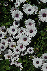 Akila® White African Daisy (Osteospermum ecklonis 'Akila White') at Cole's Florist & Garden Centre