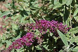 Buzz Purple Butterfly Bush (Buddleia 'Buzz Purple') at Cole's Florist & Garden Centre