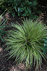 EverColor® Everillo Japanese Sedge (Carex oshimensis 'Everillo') at Cole's Florist & Garden Centre