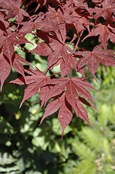 Purple Ghost Japanese Maple (Acer palmatum 'Purple Ghost') at Cole's Florist & Garden Centre