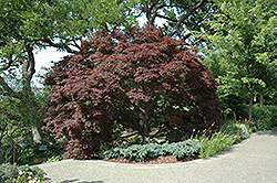 Burgundy Lace Japanese Maple (Acer palmatum 'Burgundy Lace') at Cole's Florist & Garden Centre