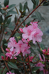 Aglo Rhododendron (Rhododendron 'Aglo') at Cole's Florist & Garden Centre