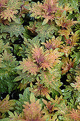 Limon Blush Coleus (Solenostemon scutellarioides 'Limon Blush') at Cole's Florist & Garden Centre