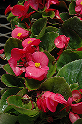 Super Olympia Rose Begonia (Begonia 'Super Olympia Rose') at Cole's Florist & Garden Centre