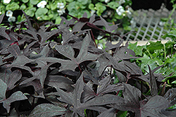 Blackie Sweet Potato Vine (Ipomoea batatas 'Blackie') at Cole's Florist & Garden Centre