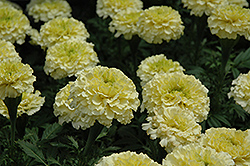 Sweet Cream Marigold (Tagetes erecta 'Sweet Cream') at Cole's Florist & Garden Centre