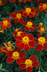 Disco Red Marigold (Tagetes patula 'Disco Red') at Cole's Florist & Garden Centre